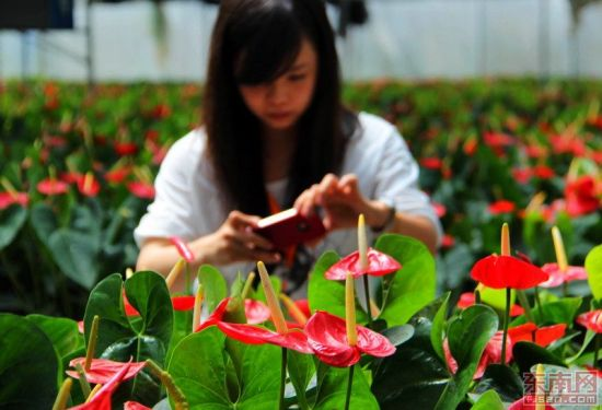 全国画报媒体的摄影师正在拍摄大棚花卉