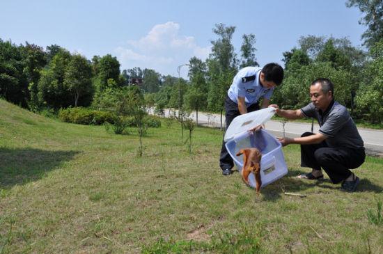 """经县野生动物保护站工作人员鉴定:该小动物叫""""飞虎"""""""