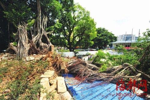 大树还有一半立着,园林局表示还有救