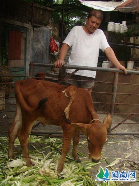 小牛的第五只脚长在背上,在动物园里很少见