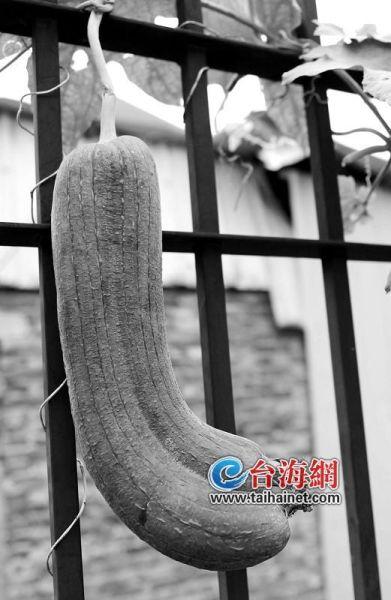 """集美杏林村曾老伯的菜园里,有一对""""连体双胞胎""""丝瓜:两个丝瓜紧紧贴在一起,约40厘米长。"""