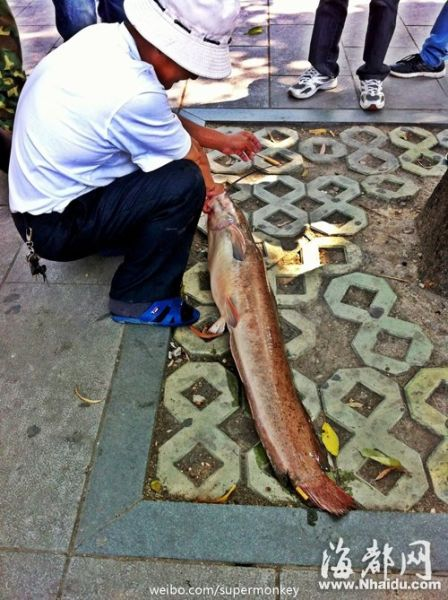 这是条胡子鱼,学名鲇(nián)鱼,又称作鲶(nián)鱼