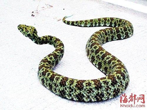 """烙铁头蛇 被誉为""""蛇类王国大熊猫""""的国宝级动物,因为蛇头酷似三角形的烙铁而得名,属于国家特级保护动物。烙铁头蛇是中国特有的珍稀物种。"""