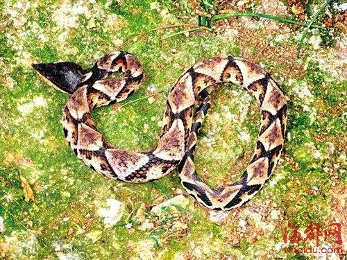 五步蛇 头呈三角形,背部有灰黄色菱形斑块,常活动在潮湿的岩壁、灌木丛和农宅内。