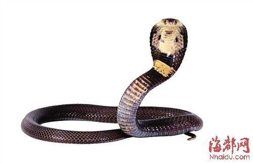 眼镜蛇 最明显的特征是颈部,该部位肋骨可以向外膨起以威吓对手。因其颈部扩张时,背部会呈现一对美丽的黑白斑,看似眼镜状花纹,故名眼镜蛇。