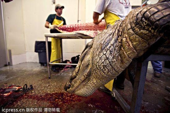 Cordray公司的工作人员进行鳄鱼标本制作。
