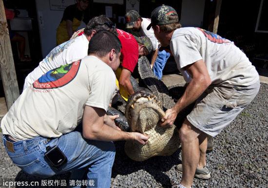 美国南卡罗莱纳州,Cordray公司的工作人员进行鳄鱼标本制作。