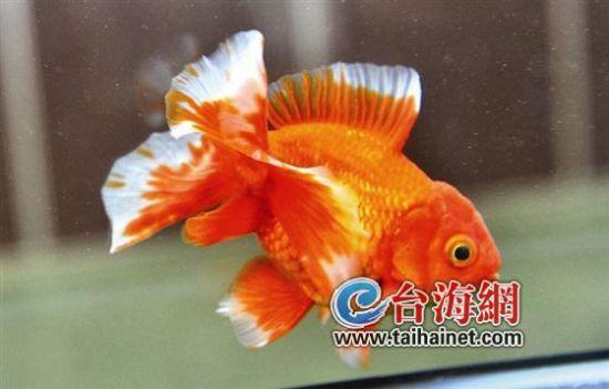 ▲號稱金魚之后的日本土佐金