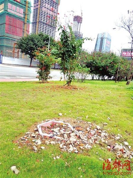 树桩三角梅被偷,只留下空空的树池