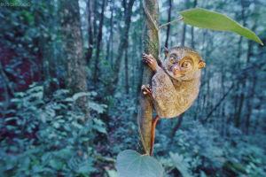 世界上最小的猴子———眼镜猴