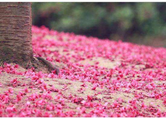 福州森林公园樱花(图BY:@菩提守望)