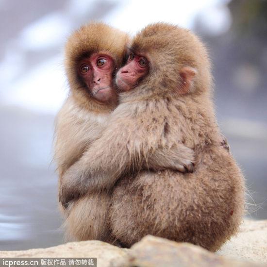 超萌超有爱日本雪猴温泉边抱团取暖(组图)