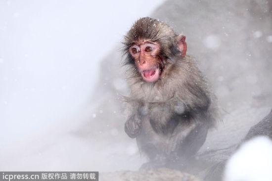 日本雪猴温泉边抱团取暖