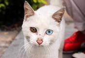 厦门善变小猫长有鸳鸯眼