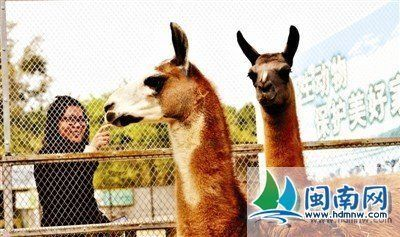 神兽羊驼入住泉州动物园