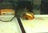 泉州85度C现老鼠啃面包3分钟