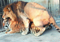 泉州狮虎相恋半小时交配六次