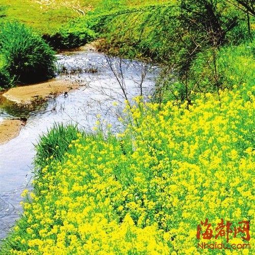 济州岛油菜花