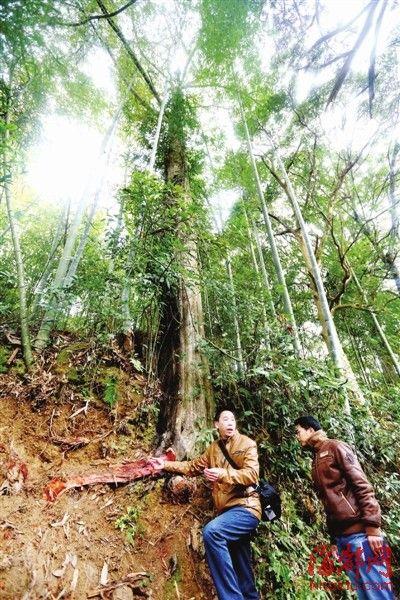 木屑满地,一条一米多长的树根被撕开,另一条树根不见踪影,只剩胳膊粗