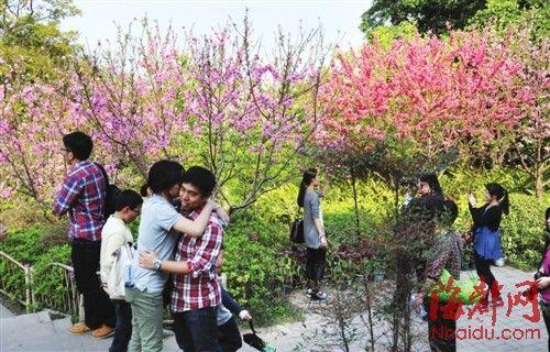福州乌山桃花盛开 预计花期仍持续半月