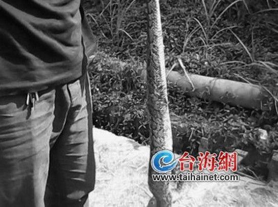 ▲蟒蛇重达20多斤