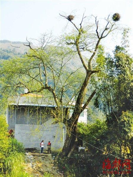 红豆树有600多年树龄