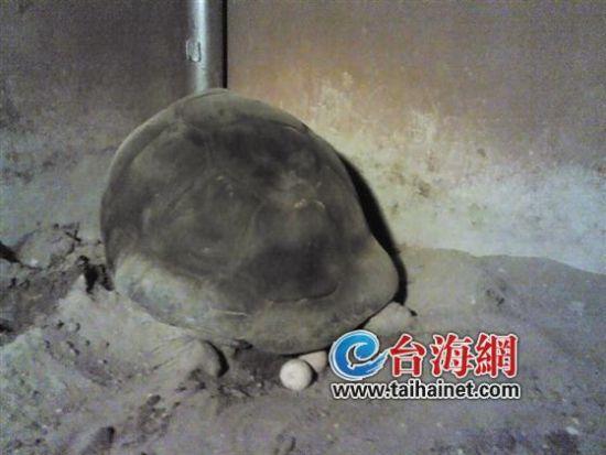 亚达伯拉象龟首次在厦门产卵 一胎可产9-25颗