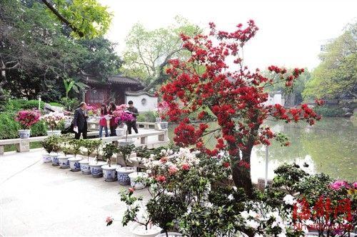 西湖公园大梦山景区绽放的杜鹃花