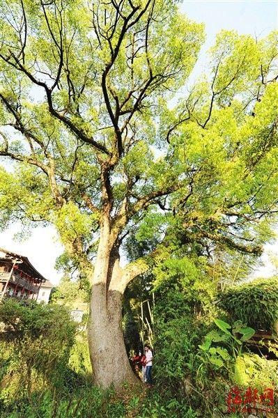 樟树高三十余米,需五人环抱