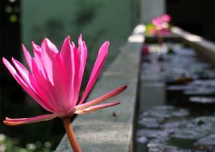 佛国的祥光――斯里兰卡国花