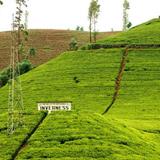 名扬四海的锡兰红茶