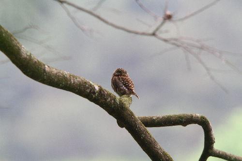 国家二级保护动物灰山椒鸟