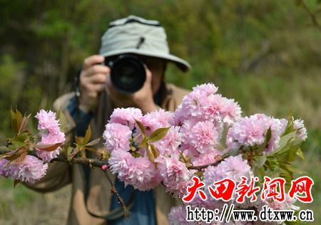 大田数十亩福建山樱花盛开 引游人踏青观看
