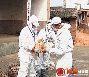 图为8日新罗区动物疫控中心兽医正在龙门一养殖场采集检测禽流感棉拭子。 记者 池银花 通讯员 黄标敏 摄