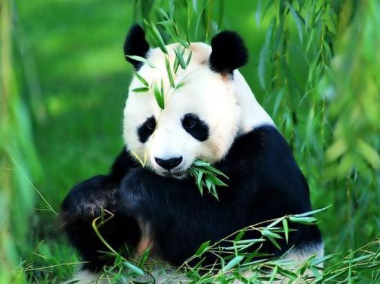 宝兴大熊猫