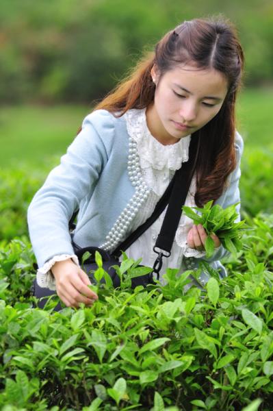 并了解到每个制作步骤的作用以及对茶叶品质的影响