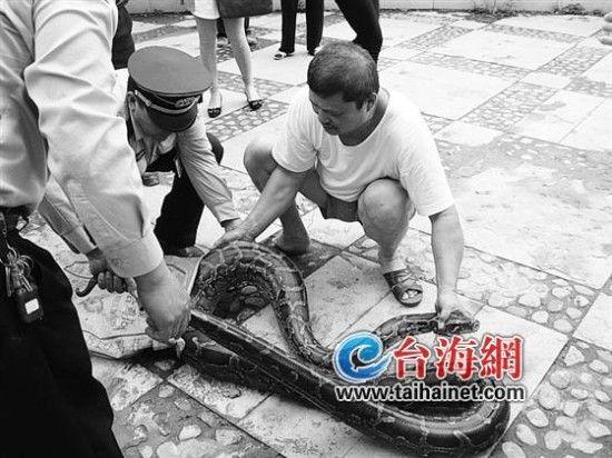 龙岩3.8米长蟒蛇闯小区 三大汉合力擒拿(图)