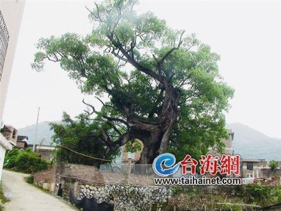 这棵千岁香樟,原饱受摧残,如今被保护