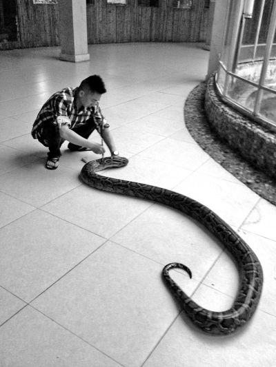 50斤大蟒蛇受伤荒田中 村民报警送福州动物园治疗