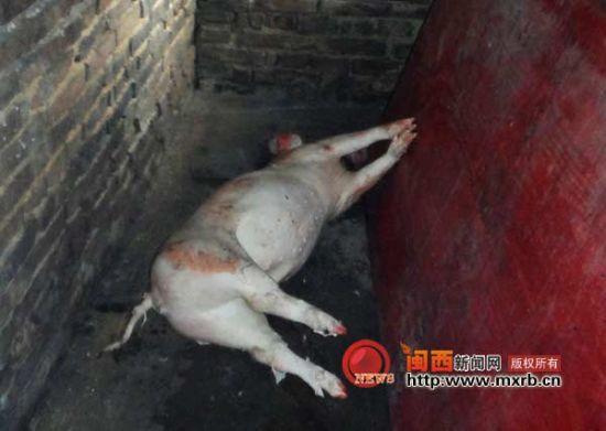 连城县查获220公斤病死猪肉