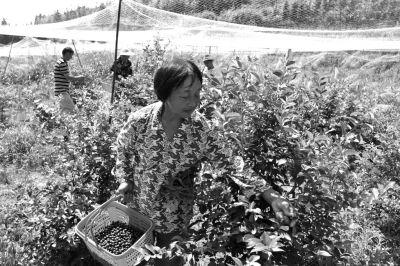 工人正在蓝莓基地采摘蓝莓