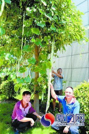 同安第二代蛇瓜2.01米 身高快赶上姚明