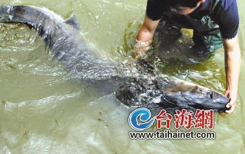 继此前2尾中华鲟丧生之后,厦门中华鲟养殖基地又传出噩耗,台风后又有3条中华鲟丧命。