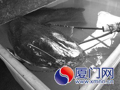 二十多斤的胡子鱼