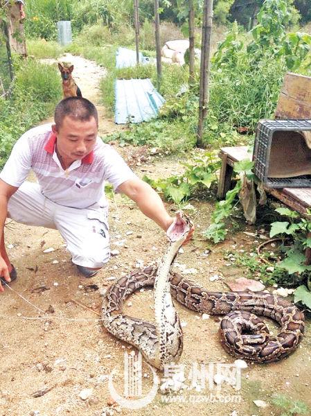 乖乖吐出4只鸡后,大蟒蛇在捕蛇师面前显得很温顺。