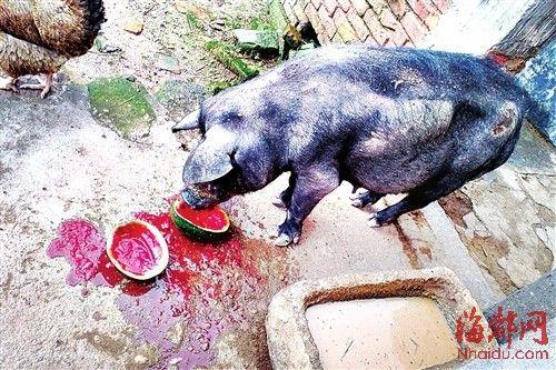 吃西瓜,猪还会把西瓜子吐出来