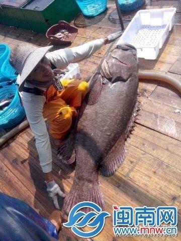 浮山村渔民抓到大石斑(网友供图)