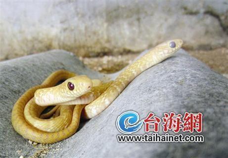 草花蛇生下黄金蛇