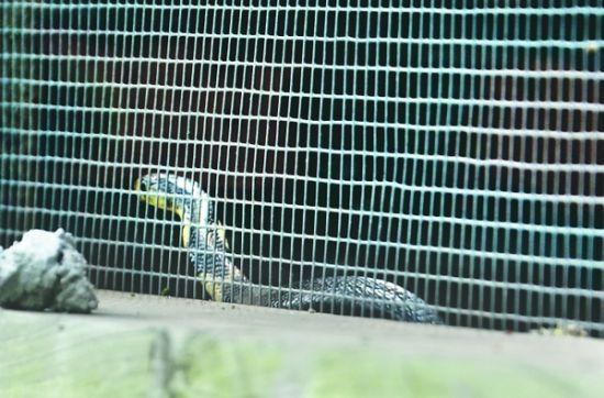 隆昌云顶磊鑫蛇场,蛇圈内的眼镜蛇幼蛇