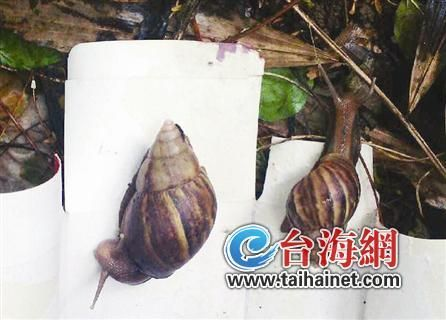 非洲大蜗牛现身金尚路